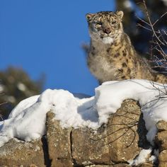 Snow leopards are found across alpine and subalpine mountain ranges of Central and South Asia.