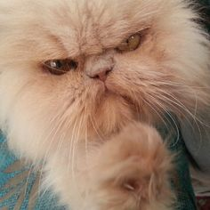 persiancatworld:  #persiancat on ig by http://ift.tt/1fefBAJ