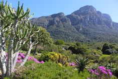 5 things you should now about Kirstenbosch Botanical Garden in Cape Town, South Africa National Botanical Gardens, Cape Town South Africa, Summer Sunset, Days Of The Year, The Visitors, 5 Things, Travel Around The World, Art Ideas, Globe