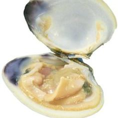 The interior of a clam is the source of wampum beads and jewelry. Metal Toys, Native American Tribes, Seashell Crafts, Toy Trucks, Clams, Bead Crafts, Vintage Toys, Handmade Jewelry, Crafty