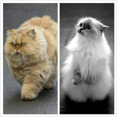 Different fat cats. Fat Kitty, Fat Cats, Cute Animals, Pets, Pretty Animals, Cutest Animals, Cute Funny Animals, Adorable Animals, Animals And Pets