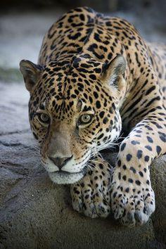 Jaguar! .....Wild one...