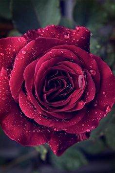 A red rose blossom captured after rain. Special Flowers, My Flower, Pretty Flowers, Prettiest Flowers, Romantic Roses, Beautiful Roses, Beautiful Gardens, Beautiful Beach, Rose Images