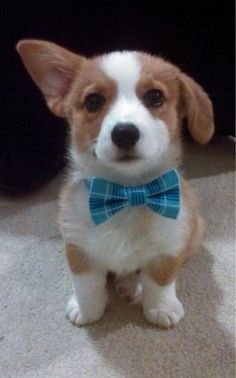 I can't resist the cuteness of a corgi pup...and with a bow tie. Sooooo adorable.  Reminds me of my boys when they were babies.