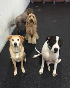 Good sit!!! Happy Sunday from Kiley, Teddy & (S)Miles :-) (and also Clyde, making a drive-by appearance). #dogslife
