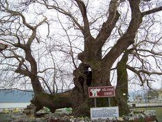 741 yaşındaki ağlayan Çınar.. Çınara bu isim gövdesinde bu mevsimde akmaya başlayan özsuyu yüzünden verilmiş.