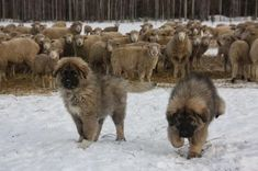 Winter Care for Working Farm Dogs - Homesteading and Livestock - MOTHER EARTH NEWS Winter is coming and with it lots of well-meaning folks saying that all dogs need to come inside. However, many hardworking farm or ranch dogs need to be outside in weather of all types, especially livestock guardian dogs who need to protect their charges day and night.