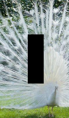 light switch plate white peacock animal art by SindyOriginalDecor