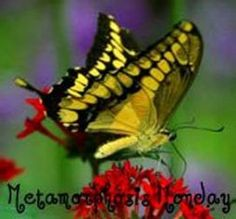 Over 100 free butterfly pictures & large butterfly images. Find close-up, professional butterfly photos, every color of butterfly pics and butterfly facts. Butterfly Kisses, Butterfly Flowers, Butterfly Wings, Beautiful Butterflies, Flying Flowers, Butterfly Print, Red Flowers, Butterfly Exhibit, Butterfly Watercolor
