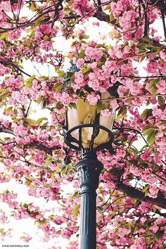 Spring Blossoms in Paris