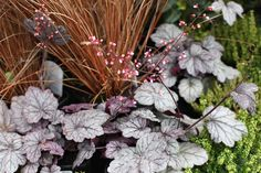 Heuchera 'Sugar Plum' - Silvery pink flowers are produced from late spring through to summer above frosty plum purple foliage. The low mounding habit makes it excellent for edging along paths or in containers. H 30cm. Sun or partial shade. www.thepavilion.ie
