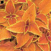 Rustic Orange Coleus for the back shade garden
