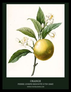 orange-illustration-by-pierre-joseph-redoute.jpg (2550×3300)