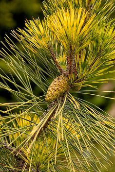 Japanese red pine (Pinus densiflora) 'Golden Ghost' in spring with new needles and cone