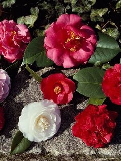 The waxy, perfectly shaped blooms of camellias plant cheer late winter landscapes, opening against dark, glossy green leaves: http://www.bhg.com/gardening/plant-dictionary/shrub/camellia/?socsrc=bhgpin042814camellia
