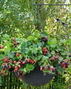 Blackberry Black Cascade Fruit Plants are the first thornless, trailing blackberry fruiting in its first year, perfect for hanging baskets. Buy online now