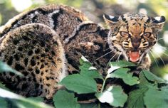 marbled cat - Google Search