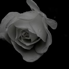 The lone rose Photo by Louise Leake