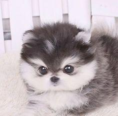 Mini Dog Dwarf Spitz Dwarf Pomeranian dog with white paws diy funny tattoo bonitos cachorros graciosos Cute Little Animals, Cute Funny Animals, Cute Dogs, Adorable Puppies, Miniature Dogs, Mini Dogs, Shih Tzu Puppy, Shih Tzus, Husky Puppy