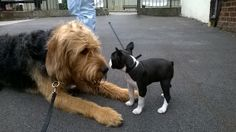 Olly the Otterhound age 2, meeting a Boston Terrier puppy