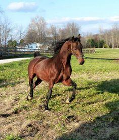 I Am Johnny Be Good Johnny Be Good, Johnny Was, Bay Horse, American Saddlebred, Horses, Animals, Animales, Animaux, Animal
