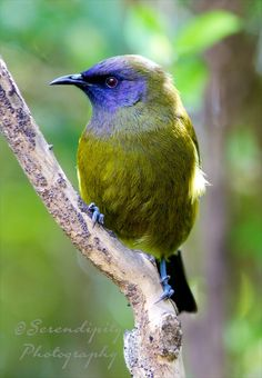 The New Zealand Bellbird (Anthornis melanura) also known by its M?ori names Korimako or Makomako is a passerine bird endemic to New Zealand. Kinds Of Birds, All Birds, Little Birds, Love Birds, Pretty Birds, Beautiful Birds, Animals Beautiful, Cute Animals, Exotic Birds