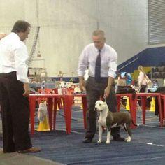 Ch.F Ch.J Blue Honda Imperial Terriers