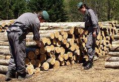 guardia forestale - alberi recisi