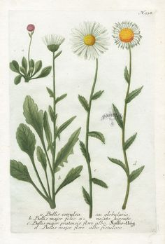 Daisy. From the collection of botanical illustrations of ...