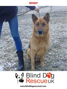 Benny is a full breed GSD measuring Height 65cm, Length 104cm. He is good with people and other dogs although he prefers to eat alone. Benny is around 6-7yrs old as of Jan 2017, and is partially sighted. Please email bdrukrehoming@yahoo.com if you have any questions or are interested in adoption.