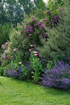 rose veilchenblau, rhamnus alaternus argenteovariegata, papaver somniferum, nepeta 'walkers low'
