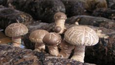 Vigorously promote mushroom industry and boost poverty alleviation