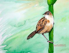 Apuntes naturales: Buitrón - zitting cisticola(ingles) (Cisticola jun...