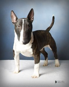Miniature Bull Terrier.