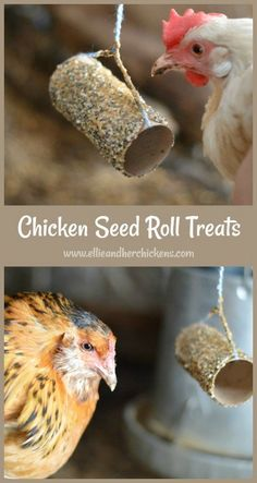 A high protein chicken treat your hens will love. - Laura - A high protein chicken treat your hens will love. Easy and Healthy Chicken Seed Roll Treats - A great way to reuse toilet paper rolls, and also treat your chickens. Diy Chicken Coop Plans, Portable Chicken Coop, Building A Chicken Coop, Raising Backyard Chickens, Baby Chickens, Keeping Chickens, Toys For Chickens, Treats For Chickens, Urban Chickens
