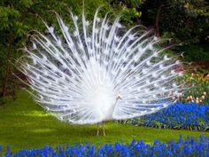 Amazing White Peacock Pictures/Images, Beautiful and Cool White Peacock Peacock Images, Peacock Pictures, Bird Pictures, Most Beautiful Animals, Beautiful Birds, Beautiful Creatures, Beautiful Pictures, Majestic Animals, Simply Beautiful