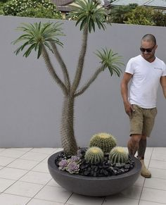 Pachypodium Lamerei Madagascar Palm Feature plants Garden design Cactus Gardens Landscape design Created supplied and designed by Beautiful Gardens Exotic Nursery NSW Aus… - Modern Succulent Landscaping, Front Yard Landscaping, Succulents Garden, Succulent Gardening, Backyard Landscaping, Landscaping Ideas, Cactus Garden Ideas, Backyard Ideas, Backyard Privacy