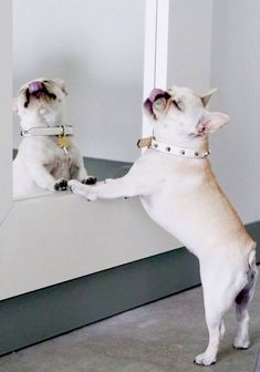 """""""I'm so GORGEOUS I can Barely LOOK at Myself"""", French Bulldog Narcissist, by @piggyandpolly collaboration with Jimmy Choo #choohound"""
