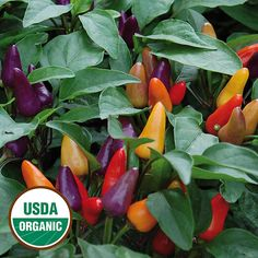 CHILE WOMAN - Pepper, Aurora Beautiful, ornamental hot peppers for container gardens.