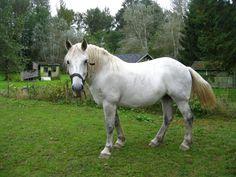 Grey Percheron Horse