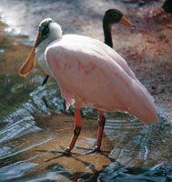 La espátula es frecuentemente confundida con los flamencos, por su coloración rosada; sin embargo se diferencia de estos por la forma de su pico, del cual se deriva su nombre.