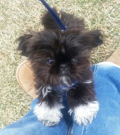 """Acquire terrific recommendations on """"shih tzu puppies"""". They are actually readily available for you on our site. Shitzu Puppies, Teacup Puppies, Cute Puppies, Cute Dogs, Dogs And Puppies, Doggies, Shih Tzu Puppy, Shih Tzus, Animals And Pets"""
