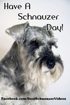 Have a Schnauzer Day!