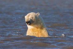 polar bears no snow alaska climate change