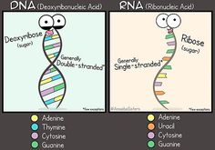 DNA vs RNA Poster' Poster by amoebasisters is part of Science Notes Dna - Millions of unique designs by independent artists Find your thing Biology Classroom, Teaching Biology, Science Biology, Life Science, Biology Teacher, Forensic Science, Computer Science, Science Cartoons, Science Humor
