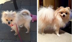 Pomeranian uglies before and after -Pearl