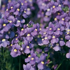 The Nemesia Blue Bird, 'Nemesia fruticans hybrids', was bred in Germany and England. These sweet scented blooms fill the air with their fragrant aroma when the sun hits the flowers. Proven Winners introduces Blue Bird, with it's blue flowers, to join Purple Plants, Blue And Purple Flowers, Purple Garden, Colorful Garden, Shade Garden, Garden Plants, Lush Garden, Nemesia Flowers, Dahlias
