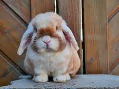 lovely little bunny Lop Bunnies, Cute Baby Bunnies, Funny Bunnies, Cute Baby Animals, Animals And Pets, Cute Babies, Mini Lop, Holland Lop, Beautiful Creatures