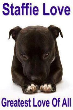Especially when there might be a walk involved. Or its teatime :) Cute Puppies, Cute Dogs, Dogs And Puppies, Animals And Pets, Cute Animals, Staffy Dog, Pitbulls, Nanny Dog, Bully Dog