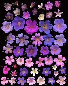 Hardy Geraniums                                                                                                                                                     More